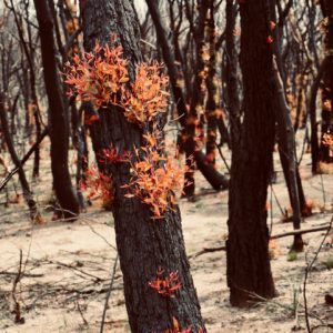 regrowth on trees after bushfire