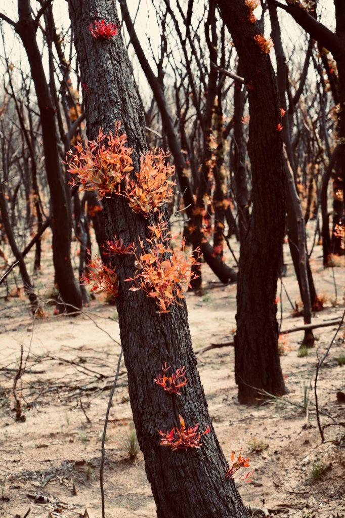 Bushfire regrowth on trees